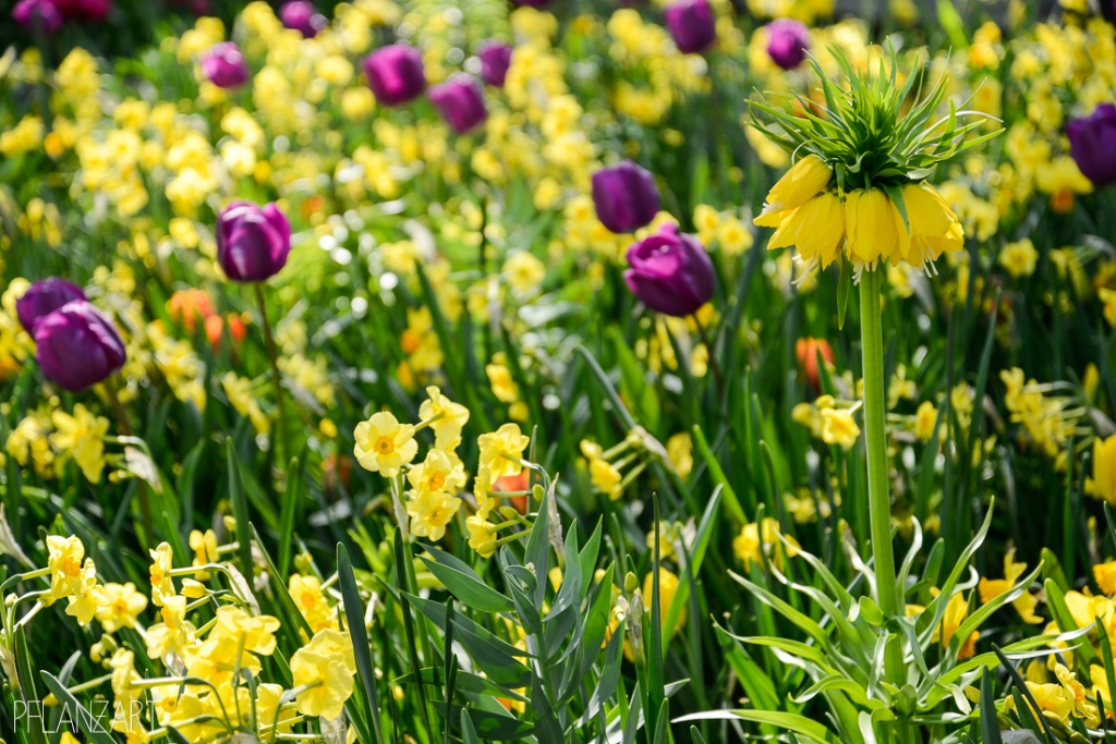 Frühjahrsflor aus verschiedenen Blumenzwiebeln