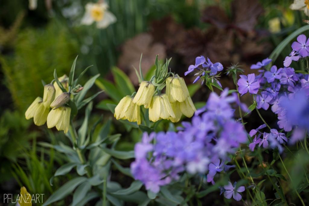 Schattenbeet mit Fritillaria und Waldphlox
