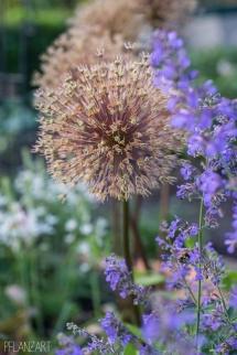 iris Allium